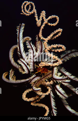 Touffue Variable Feather Star Corail fil spirale - Bohol Banque D'Images