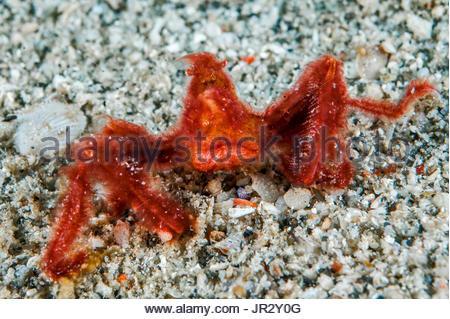 Crabe d'orangs-outans (Achaïos japonicus) sur le sable, l'île de Gangga, nord de Sulawesi, Indonésie Banque D'Images