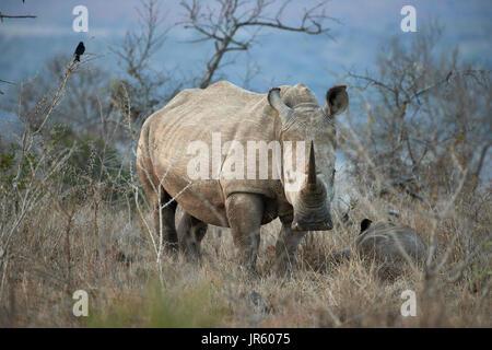 Square lipped Rhino (blanc) (Ceratotherium simum) - mère et son petit debout dans la brousse africaine au crépuscule Banque D'Images
