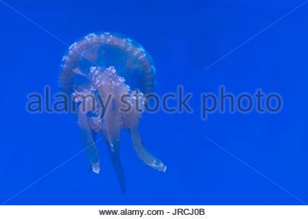 White-spotted méduses ou phyllorhiza punctata. Il est originaire de l'ouest du Pacifique de l'Australie au Japon, Banque D'Images