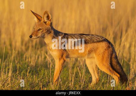 Le Chacal à dos noir (Canis mesomelas), marcher dans la prairie, Désert du Kalahari, Kgalagadi Transfrontier Park, Banque D'Images