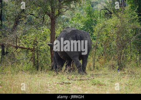 White Rhino dans le Parc national Krueger Banque D'Images