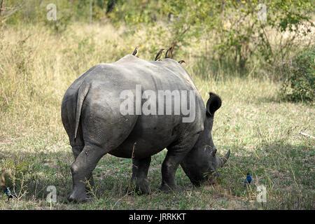 White Rhino dans le Parc national Krueger