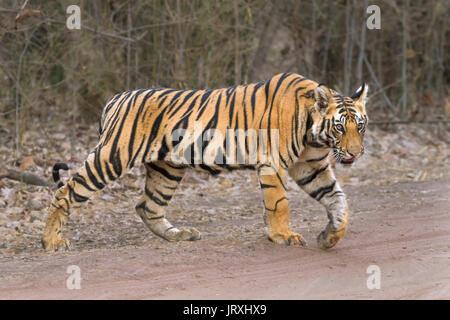 Bengal Tiger cubs itinérance dans Bandhavrgarh au parc national de l'Inde centrale dans MadhyaPradesh Banque D'Images