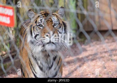 Tigre mâle adulte, derrière les barreaux de la cage Banque D'Images