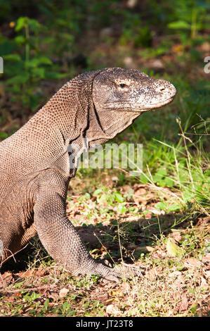 Dragon de Komodo Portrait présente la peau froissée, écailleuse. Banque D'Images