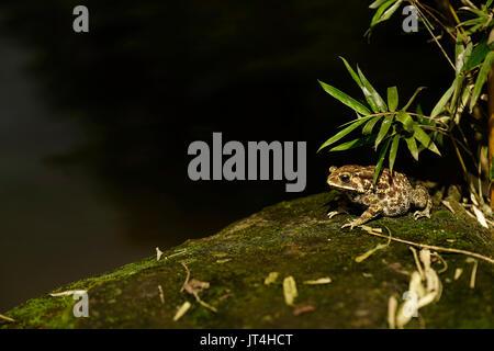 Fat frog brun assis au coin d'un lac sur un rocher avec mousse verte sous les feuilles pendant la journée. Banque D'Images