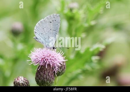 Un Holly Blue Butterfly (Celastrina argiolus) nectar sur une fleur de chardon. Banque D'Images
