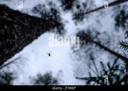 Sur un site web d'araignée dans la forêt libre Banque D'Images