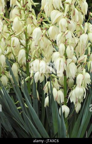 Yucca Gloriosa, ou espagnol poignard, affichage de panicules de fleurs en forme de cloche dans un jardin anglais Banque D'Images