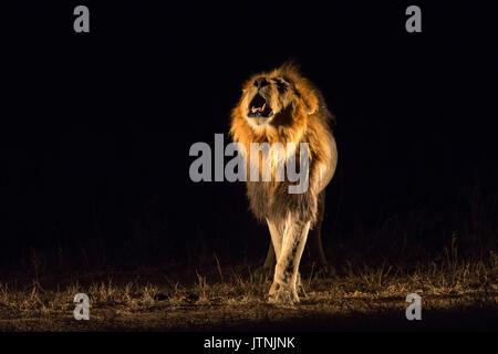 Vue frontale d'un male lion (Panthera leo) roaring la nuit Banque D'Images