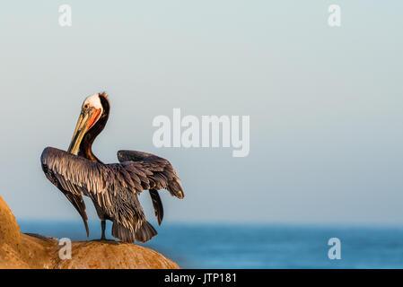 Pélican brun perché sur les falaises à La Jolla, Californie, face à la mer.