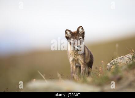 Le renard arctique, Vulpes lagopus, cub dans l'habitat naturel, l'été à Svalbard en Norvège Banque D'Images