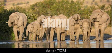 Vue panoramique d'un troupeau d'éléphants boire côte à côte à un point d'eau naturel dans Savuti Banque D'Images