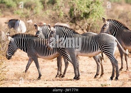 Le Zèbre de Grévy (Equus grevyi) montent la garde dans le sens d'une lionne à proximité Banque D'Images
