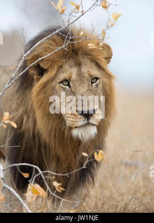 Portrait d'un homme adulte lion (Panthera leo) avec de grandes mane Banque D'Images