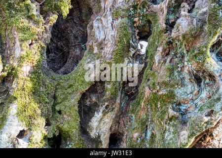 Tronc d'arbre d'olive laïque de musc dans la région de l'Ombrie (Italie).