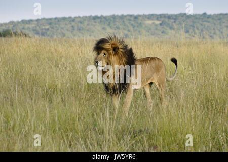 Lion à crinière noire (appelée cicatrice ou Scarface) debout dans l'herbe haute, Masai Mara, Kenya