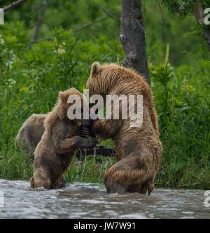 Brown Bear cub essaie de juguler le saumon de la mère. Image a été prise dans le cours d'eau se déversant dans le Banque D'Images