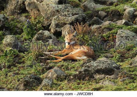 Un loup éthiopien Canis simensis,,repose dans le Parc National des Montagnes de balle. Banque D'Images