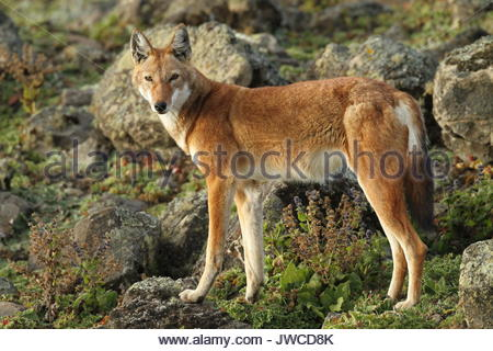 Une alerte,Canis simensis loup éthiopien,se trouve dans le Parc National des Montagnes de balle. Banque D'Images
