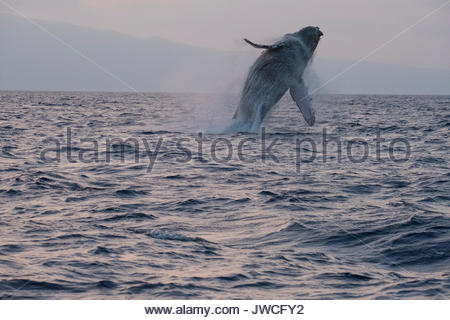 Humpback Whale breaching au coucher du soleil. Banque D'Images