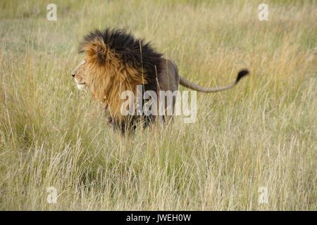 Lion à crinière noire debout dans l'herbe haute, Masai Mara, Kenya