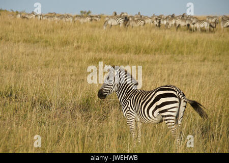 Burchell (commun ou plaine) zebra on grassy hillside, Masai Mara, Kenya Banque D'Images