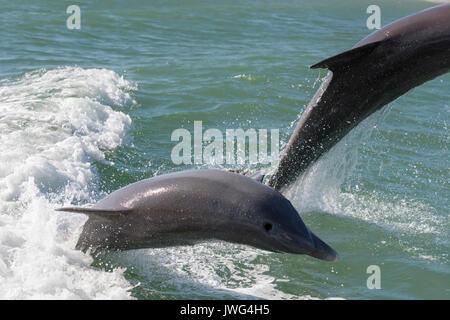 Les grands dauphins (Tursiops truncatus) violer près de Marco Island, Floride, USA Banque D'Images