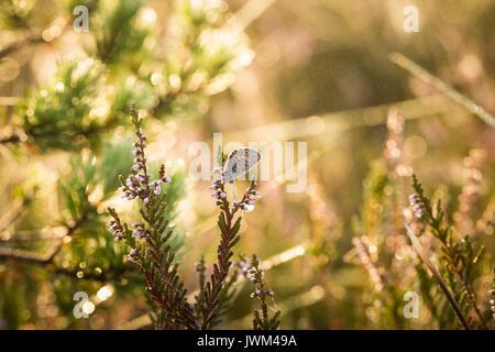 Un beau papillon bleu repéré assis sur une branche de bruyère dans une rosée du matin avec des gouttelettes d'eau Banque D'Images