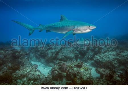 Un requin tigre nage au-dessus d'une barrière de corail aux Bahamas. Banque D'Images