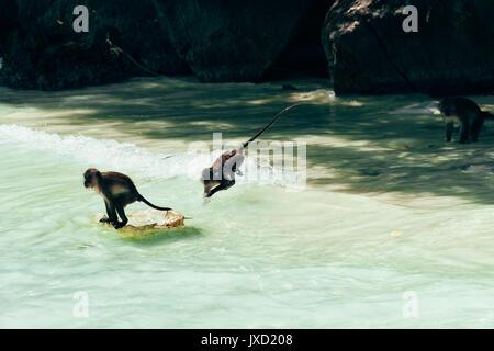 Les singes jouent dans l'eau du Monkey Beach, près de la Thaïlande Koh Phi Phi Island et Phuket.