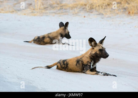 Deux lycaons (Lycaon pictus), repos, Savuti, Chobe National Park, Botswana, Africa Banque D'Images