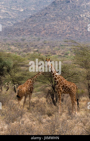 Giraffe réticulée (Giraffa camelopardalis reticulata), Kalama Wildlife Conservancy, Samburu, Kenya, Africa