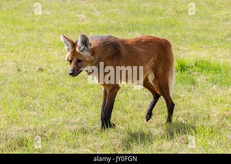 Le loup à crinière, Chrysocyon brachyurus. Hamerton Parc du Zoo, Cambridgeshire. Banque D'Images