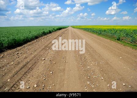 Un chemin de terre dans les terres agricoles de la Saskatchewan d'exécution entre le blé et le canola duram immatures Banque D'Images