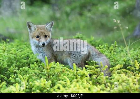 Portrait de red fox plus grande des renards Vulpes vrai - vilpes Banque D'Images