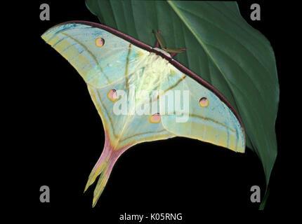 Papillon de lune indienne, Actias selene, Asie, silkmoth, des profils avec des ailes ouvrir Banque D'Images