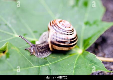Escargot commun de prendre une marche sur une feuille verte Banque D'Images