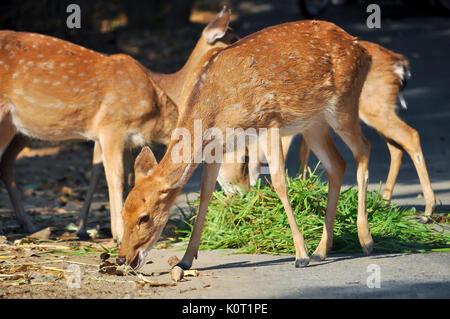 Sika mangent les feuilles des buissons de myrte, graminées, les kakis, les arbustes et les autres plantes sur Assateague Banque D'Images