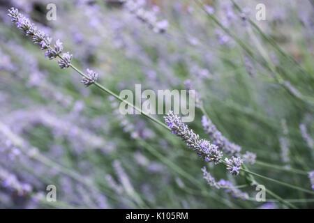 Bush en fleurs lavande violette Banque D'Images
