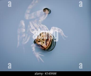 Tête d'un brun commun européen, la grenouille Rana temporaria, natation dans l'eau, Surrey, au sud-est de l'Angleterre, Royaume-Uni, close-up