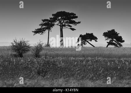 Pins tordus silhouetté contre le ciel Banque D'Images