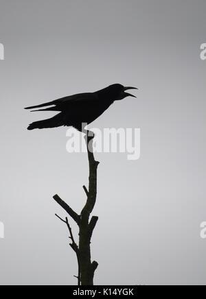 Tour perchée sur un arbre silhouetté contre le ciel gris Banque D'Images