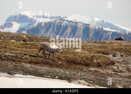 Renne, Rangifer tarandus, platyrynchus adulte seul exécuté sur la toundra. Prise en Juin, Spitsbergen, Svalbard, Banque D'Images