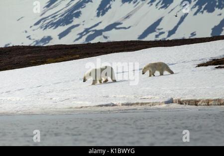 L'ours blanc, Ursus maritimus, affamés et des femelles adultes cub à chercher de la nourriture près du rivage. Prise en Juin, Spitsbergen, Svalbard, Norvège