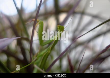 Une mante religieuse verte assis sur une tige. Banque D'Images
