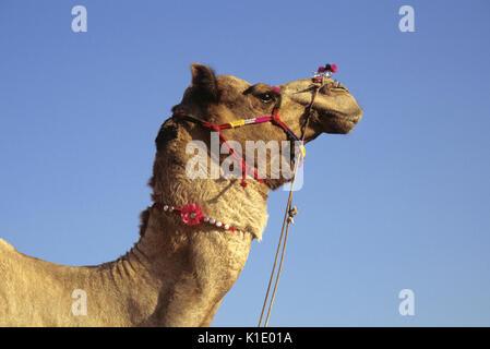 Décorées chameau, Pushkar Camel & Cattle juste, Rajasthan, Inde Banque D'Images