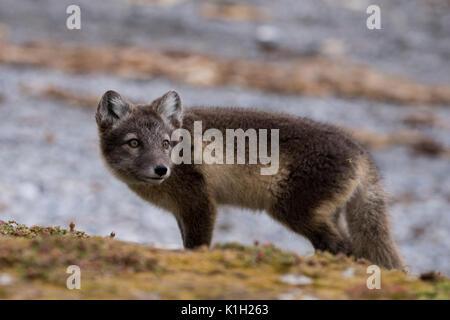 La Norvège, Svalbard, Spitzberg, Hornsund, Gnalodden. Le renard arctique (Vulpes sauvages: lagapus) avec pelage Banque D'Images
