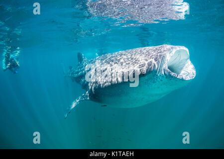 Un requin-baleine se nourrit de plancton et de krill près de la surface de la baie de La Paz, au Mexique.
